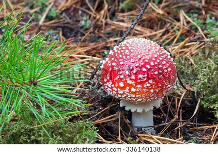 Beautiful mushroom amanita with a red hat and white speckled growing in the grass in the forest