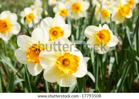 Beautiful narcissus in spring garden - stock photo
