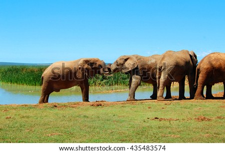 Beautiful National Parks of Africa. Elephants at a watering hole. Stunning photo of an elephant kiss.  Amazing image of african wildlife. Sweet memories of travel to Africa & South African safari.