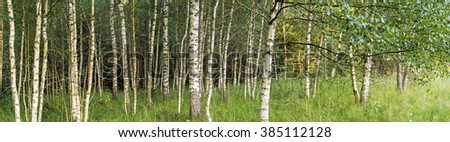 Beautiful natural panoramic landscape - summer birch grove in the evening diffused sunlight