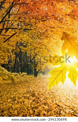 Beautiful nature background - orange maple trees in park, bright sunshine, big maple and oak leaves, vibrant image of fall season - stock photo