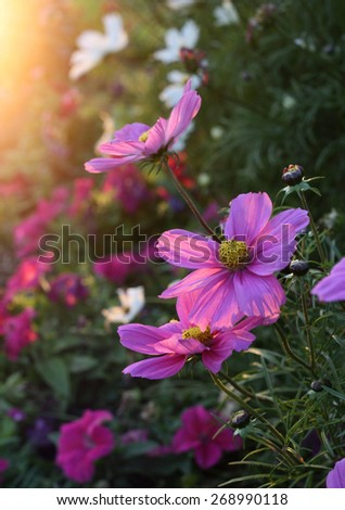 Beautiful nature background with pink Cosmos flowers with sunlight - stock photo