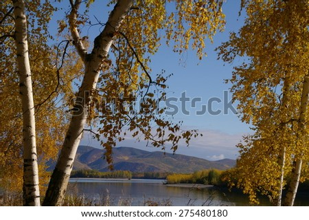Beautiful nature landscape - white birch trunks and branches full of colorful yellow and green leaves in autumn forest - stock photo