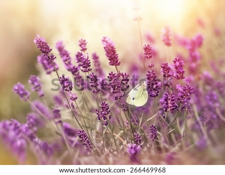 Beautiful nature - lavender flowers and butterfly - stock photo