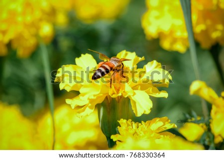Beautiful nature merigold flowers,Yellow flowers at garden are blooming in the morning have a bee worker with blurred background. select focus deep of feild.Thailand