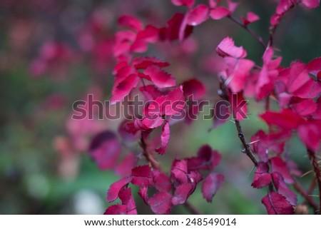 Beautiful nature purple leaf - stock photo
