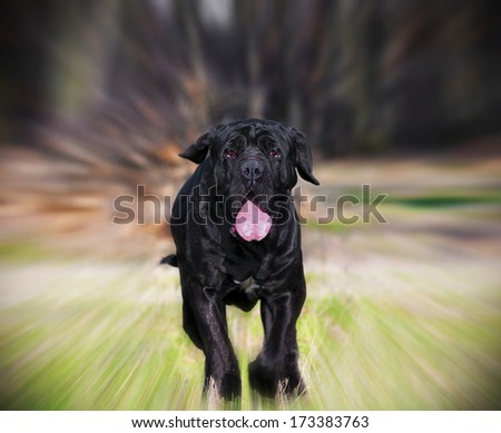 beautiful Neapolitan Mastiff running on green meadow, blur effect