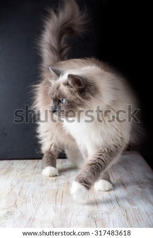 Beautiful Neva Masquerade cat portrait. Adult purebred siberian cat. - stock photo