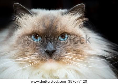 Beautiful Neva Masquerade cat portrait. Adult purebred siberian cat photographed on black background. - stock photo