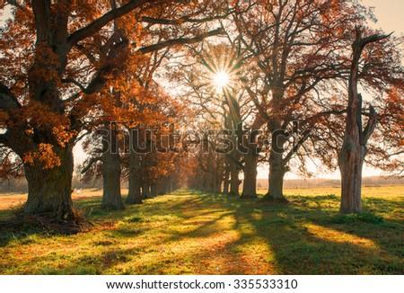 Beautiful oak alley in autumn at sunrise - stock photo
