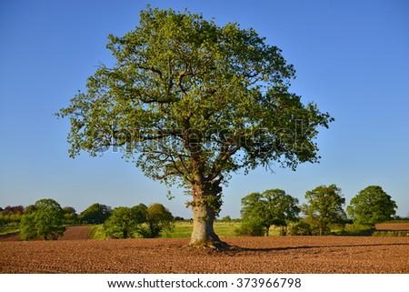 Beautiful Oak Tree Stands in a Plowed Field - stock photo