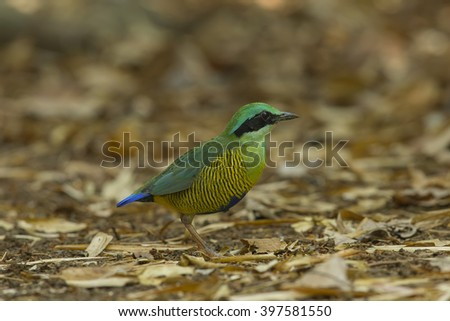 Beautiful of Bar-bellied Pitta (Hydrornis elliotii) in nature of Nam Cat Tien National Park, Vietnam