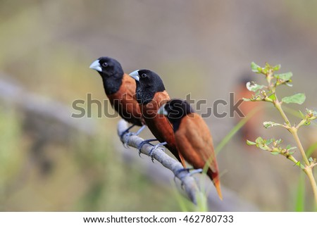 Beautiful of Bird, Chestnut Munia ( Lonchura atricapilla ) , on a branch in real nature of Thailand, selective focus