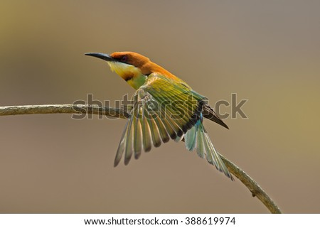 Beautiful of Chestnut-headed Bee-eater (Merops leschenaulti), Bird breeding and showing side profile in nature of Thailand