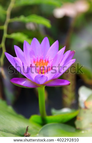 Beautiful of colorful purple water lily - stock photo