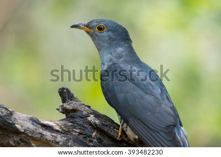 Beautiful of Cuckoo Bird, Himalayan Cuckoo (Cuculus saturatus), standing on branch showing it side profile in nature of Thailand - stock photo
