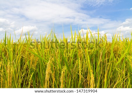 beautiful of green rice with blue sky for wallpaper and background