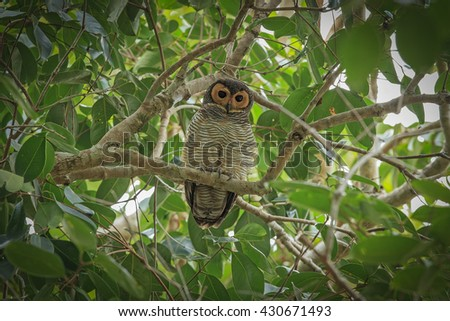 Beautiful of Owl bird, Spotted wood-owl ( Strix seloputo ), Standing on branch, in nature of Thailand,
