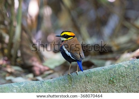 Beautiful of Pitta Bird, Malayan Banded Pitta standing on log in nature of Thailand