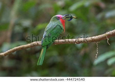 Beautiful of Red-bearded Bee-Eater ( Nyctyornis amictus ) bird, Perching on the branch, in nature of Thailand