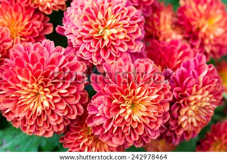 Beautiful of red Garden Dahlia flower - stock photo