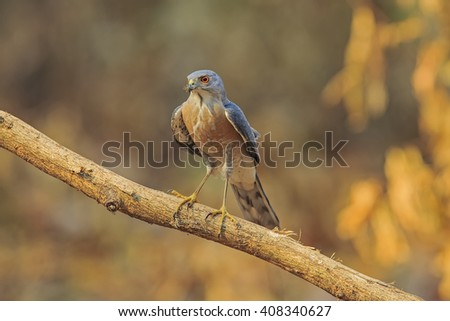 Beautiful of the Hawk, Besra (Accipiter virgatus), Standing on branch, Showing its front profile, in nature of Thailand