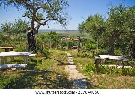 Beautiful olive garden in mediterranean country - stock photo