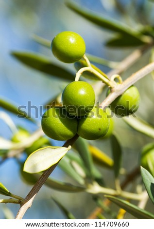 Beautiful olives fruit from Spain