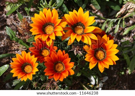 Beautiful Orange and Black Spring Flowers