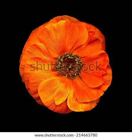 Beautiful orange Anemone flower on black background - stock photo