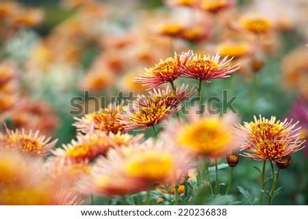 beautiful orange big chrysanthemums in autumn garden - stock photo
