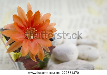 Beautiful orange cactus flower in a decoupage decorated  flowerpot - stock photo