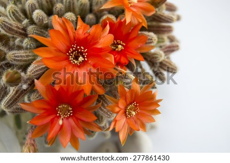 Beautiful orange cactus flower ona a wooden table - stock photo