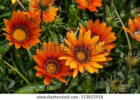 Beautiful orange dahlia flowers in the garden