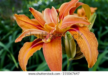 Beautiful orange daylilies in the garden. Hemerocallis.