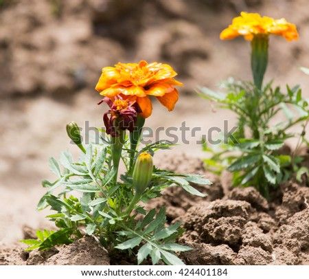 beautiful orange flower in nature - stock photo