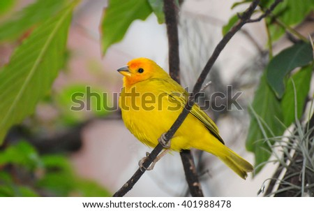 Beautiful Orange-fronted Yellow Finch male perched on a tree branch early in the morning around the city of Medellin in Colombia. - stock photo