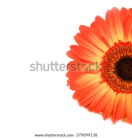 Beautiful Orange Gerbera Flower with Black Center. Close-up Isolated on White Background