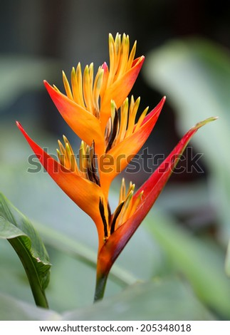 beautiful orange Heliconia summer in the park   - stock photo