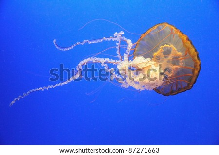 Beautiful orange jellyfish over blue background