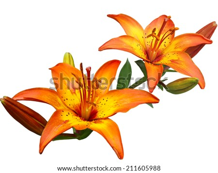 Beautiful orange lily flowers isolated on white background - stock photo