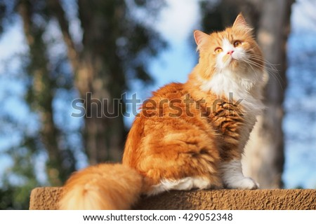 Beautiful Orange Long Haired Bi Color Doll Face Traditional Persian Cat Sitting on Ledge with Trees in Background  - stock photo