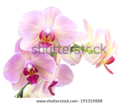 Beautiful orange orchid in the pot isolated on white background - stock photo