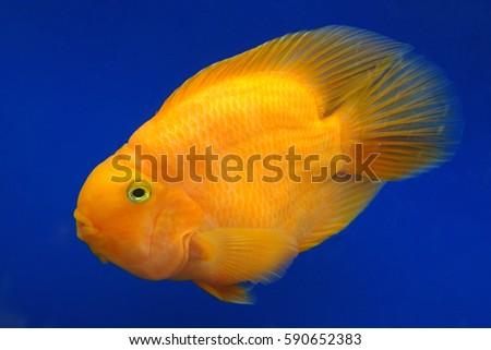 orange cockatoo cichlid