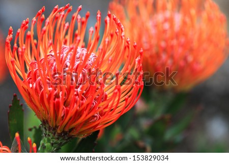 Beautiful orange red with yellow pincushion protea in full bloom.  - stock photo