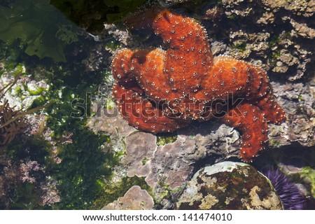 Beautiful Orange Starfish in Shallow Tide Pool. - stock photo