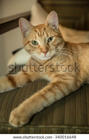 Beautiful orange striped Tabby cat on chair - portrait shot of cute kitten - stock photo