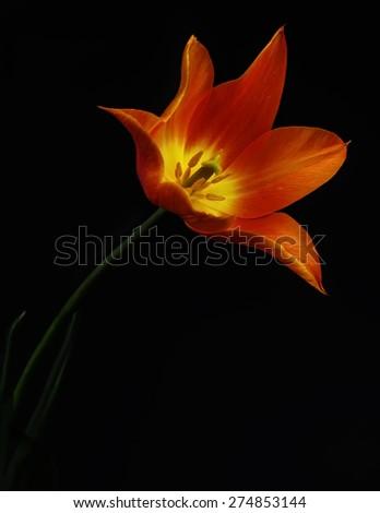 Beautiful orange tulip on black background - stock photo