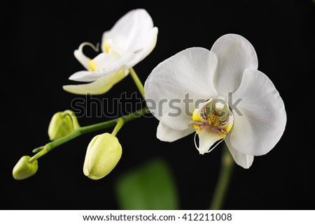 Beautiful orchid branch on black background. Closeup. - stock photo