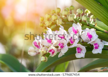 Beautiful orchid flower and green leaves background in the garden.